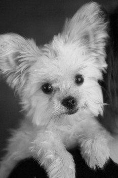 Chorkie Chorkies Chihuahua Yorkie Hybrid Cute Dogs Cute Animals Interactive Dog Toys