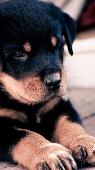 Cute Rottweiler Puppy Iphone Wallpaper Animals Iphone Wallpapers