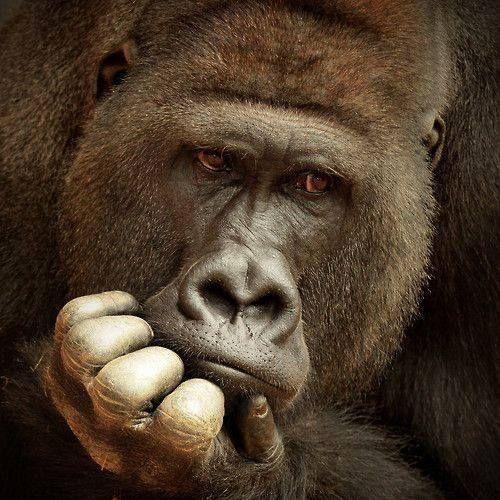 Che cosa c'è di male a supporre che gli scimpanzé, i gorilla o gli oranghi siano dei nostri cugini? Di che cosa dovremmo vergognarci? I campi di sterminio, la bomba su Hiroshima, e altre piacevolezze commesse dai miei simili nel corso della storia, mi fanno vergognare molto di più di appartenere alla specie umana!
