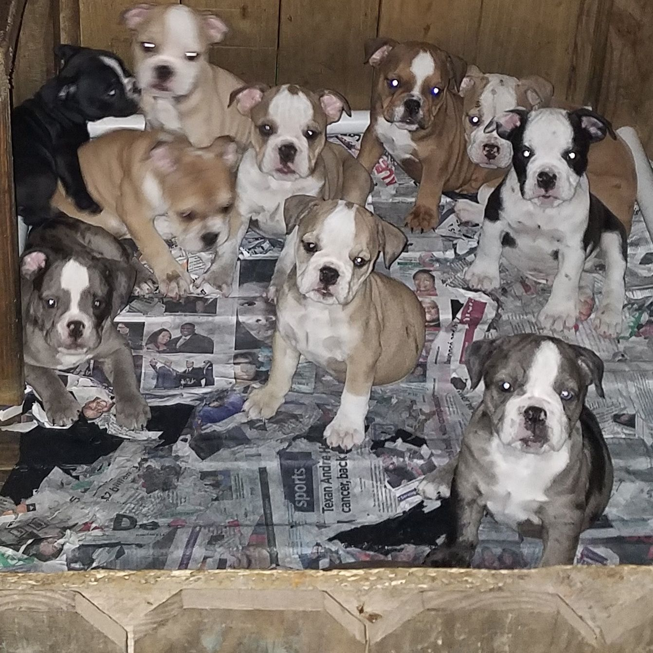 Olde english bulldogge puppies ready for their furever