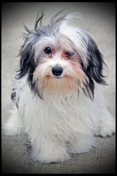 Havanese are very distinguished looking even when totally disheveled. What's that about dogs and owners being a lot alike?  lol