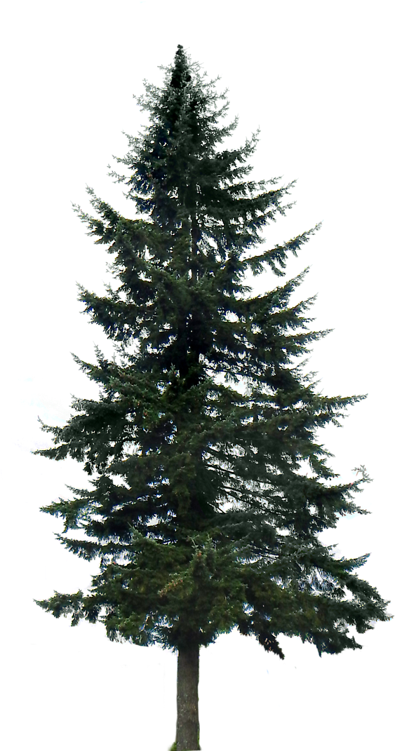 Pine Tree Png Image Pine Trees Transparent Background 591x1099 Png Download Tree Photoshop Pine Tree Silhouette Landscaping Trees