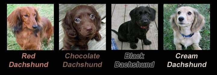 Dachshund Coat Colors The Variey Of Colors And Patterns With