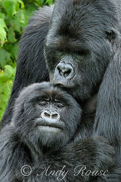 Wonderful images of mountain gorillas in Rwanda, taken by the wildlife photographer Andy Rouse.