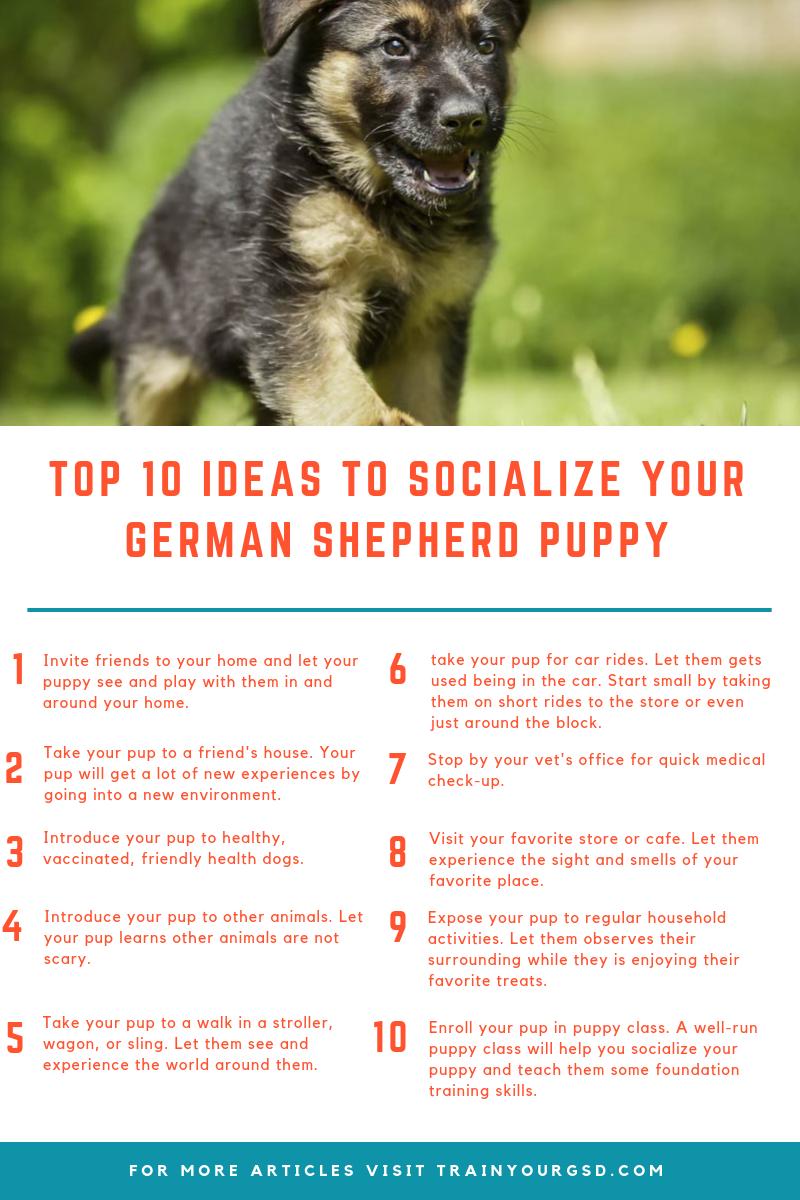 How To Socialize A German Shepherd Puppy Best German Shepherd