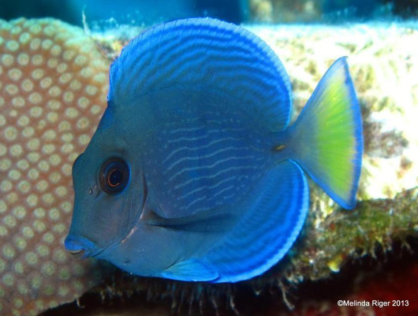The Tang Of The Bahamian Seas Blue Tang In Fact Blue Tang Fish Drawings Bahamian