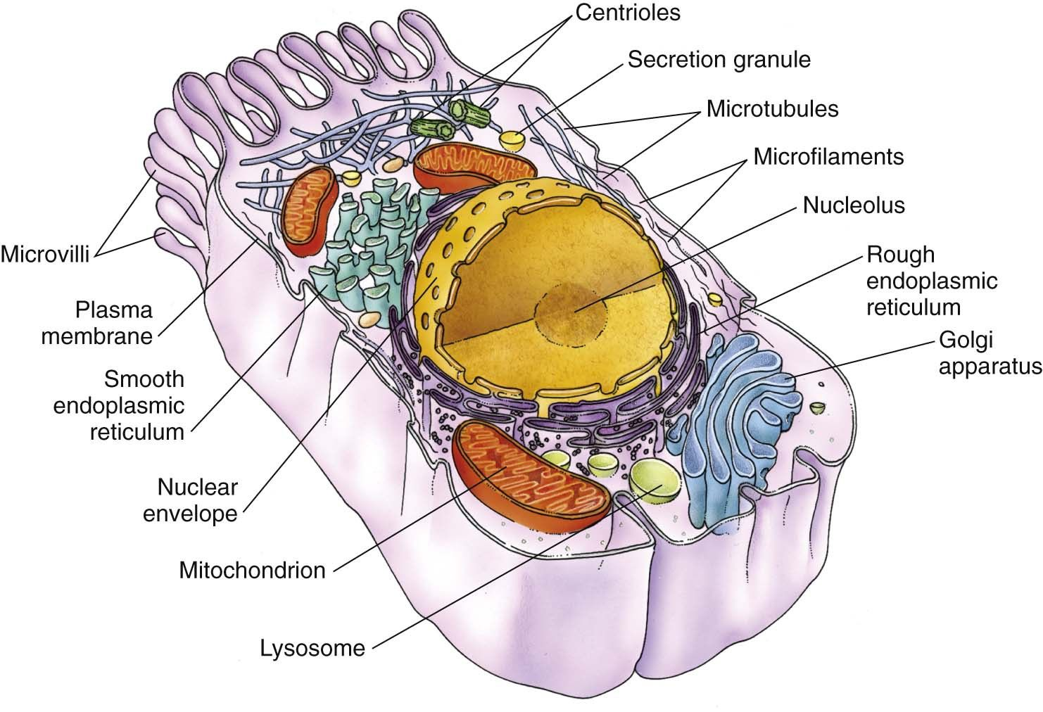 The cytoplasm is the cellular material outside the nucleus