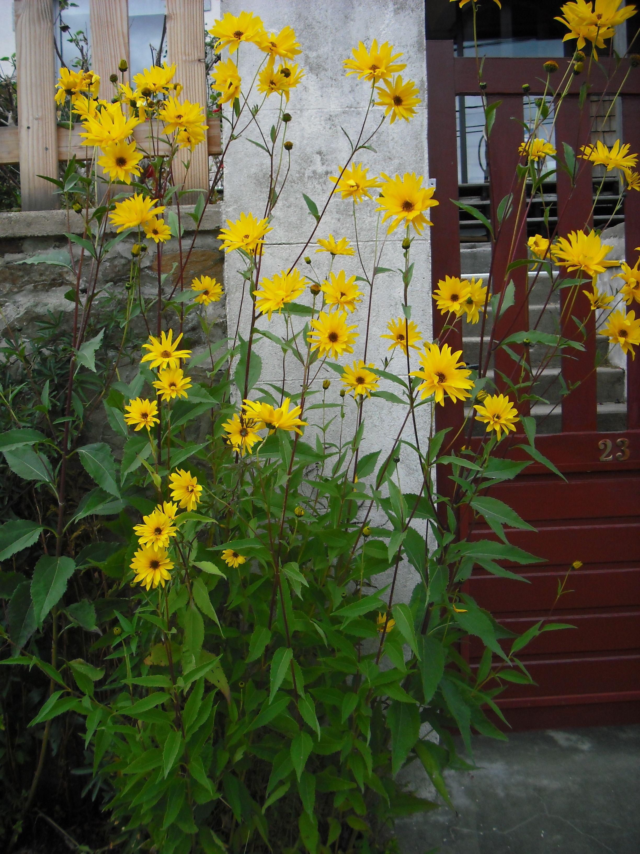 Topinambour asteraceae helianthus toberosus plante for Les plantes vivaces