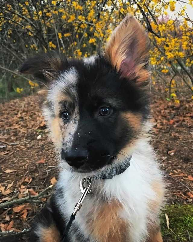 German Shepherd & Australian Shepherd mix