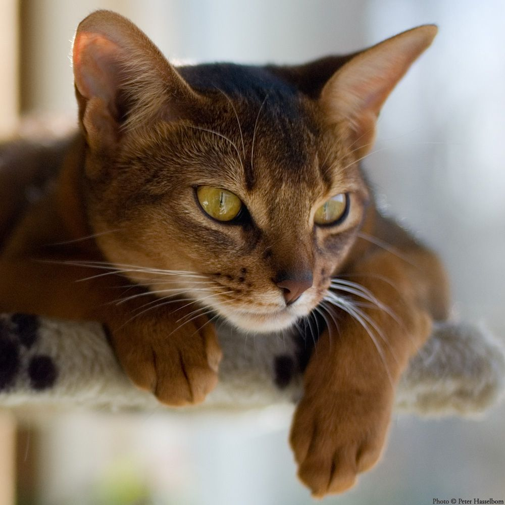 They so cute | Abyssian and Somali | Pinterest | Abyssinian, Cat ...
