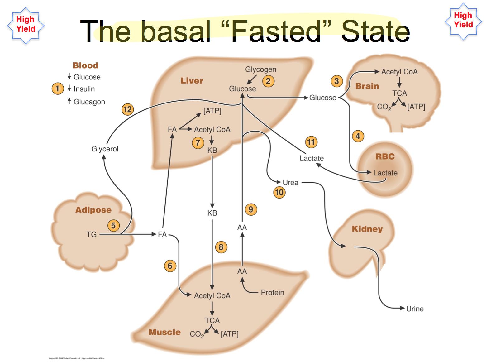 Basal Fasted State Metabolism      Biochemistry