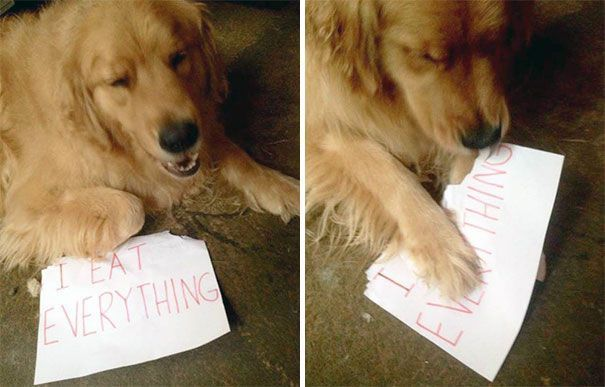 100 Funny Dogs Being Shamed For Their Crimes #dogs #dogshaming #doglovers #dogpictures #funnyanimals #funnydogs