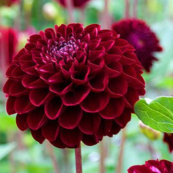 Shop Natal Dahlia Online Pompon Dahlia Bulbs Breck S In 2020 Dahlia Flower Dahlia Planting Bulbs
