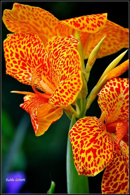 Achira Outstanding Orange Flowers Orchids Beautiful Flowers