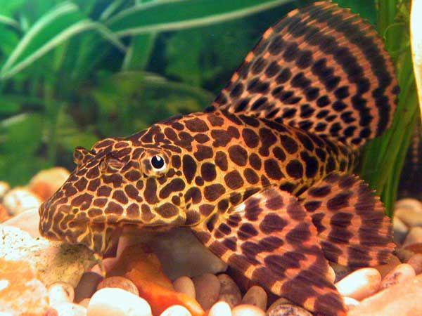 Tropical Fish Tanks Page 4 Tropical Fish Pleco Fish Tropical Fish Tanks