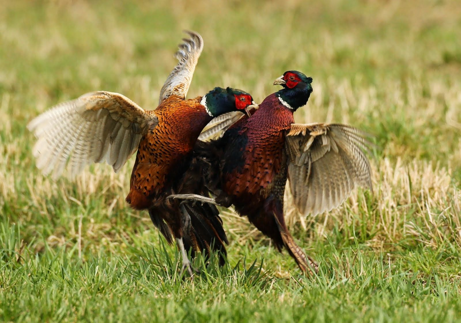 PA Game Commission To Release Nearly 220,000 Pheasants