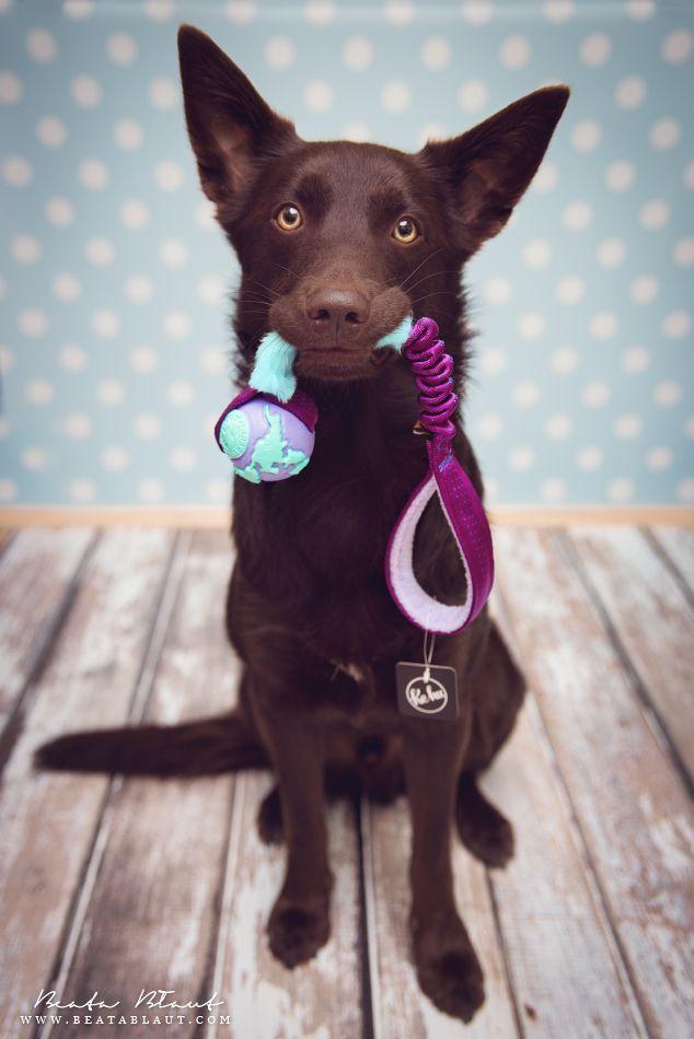 Australian Kelpie Dog Breed Information, Popular Pictures