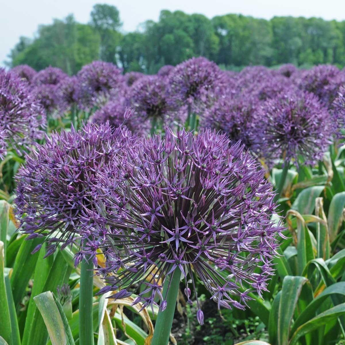 Pin Auf Zierlauch Allium