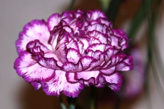 25 Most Beautiful Purple Flowers With Pictures Carnation Flower Meaning Flower Meanings