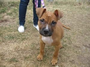 Adopt Finster on Boxer dogs, American bull, Dogs