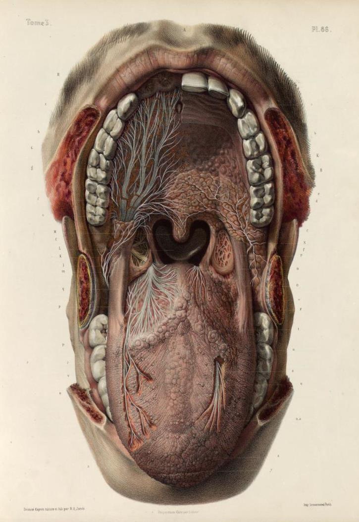 Anatomía de la boca según Marc Jean Bourger y Nicolas Henri Jacob ...