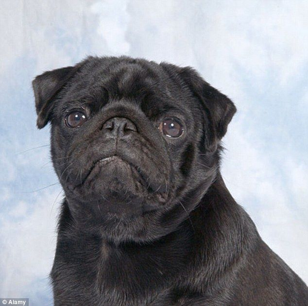 Podgy Dogs Of Crufts Set Bad Example To Owners Dogs Dogs Of The