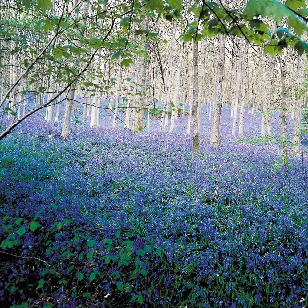 English Bluebells (Scilla Nutans) Latest Offers J