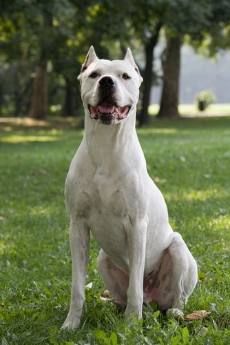 The 10 Most Stubborn Dog Breeds Dog Breeds Dogs Dog Argentino