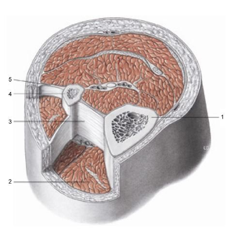 Figure 1 Transverse section at the level of the upper third of the leg.