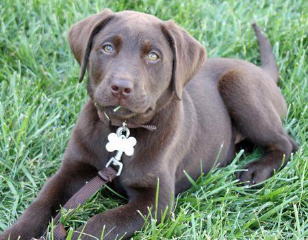 Moose Again Labrador Retriever Labrador Cute Puppy Names