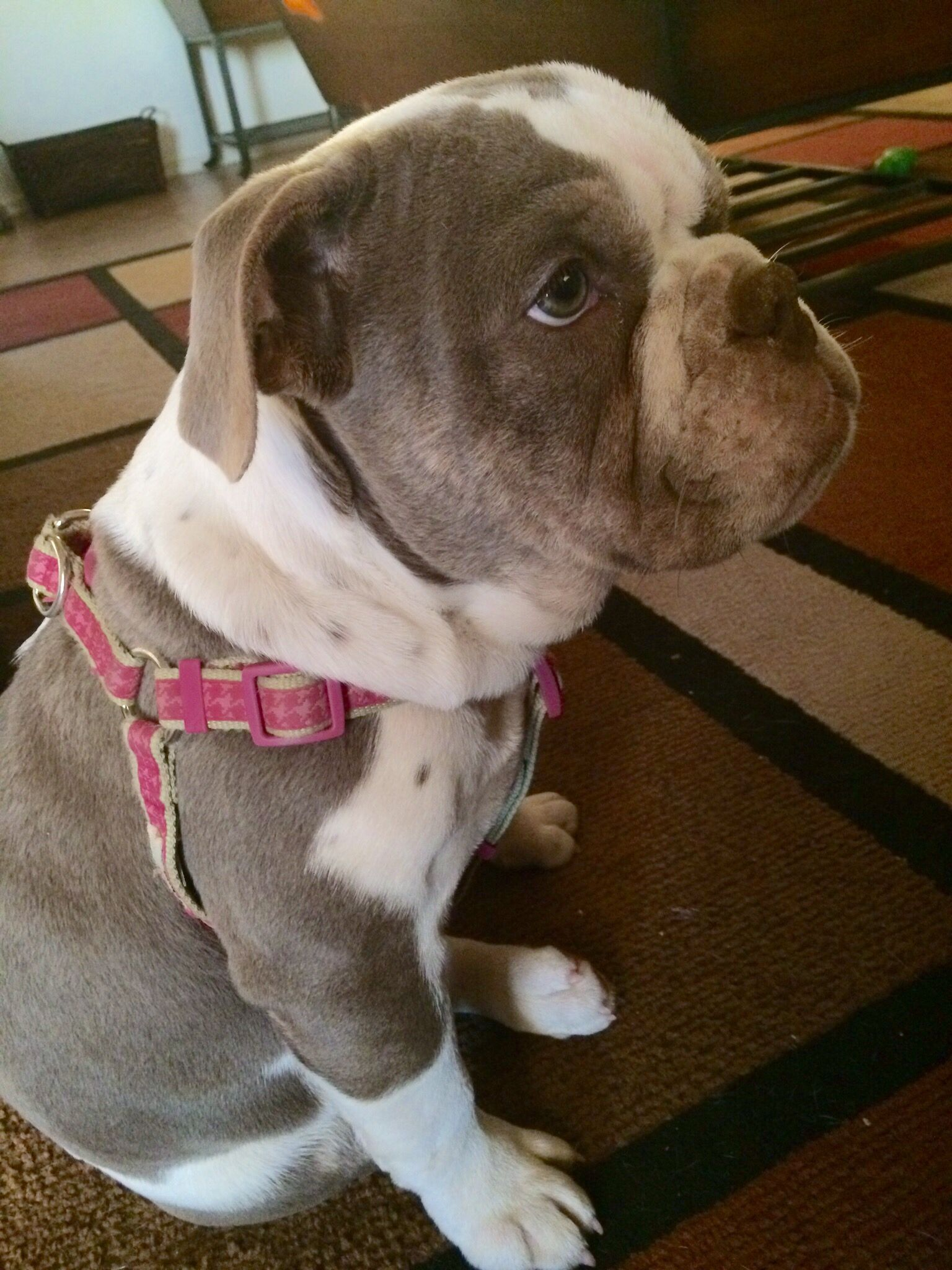Purple Rayne Of Buckeye Az Bulldogges