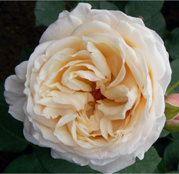 Angie Romantica Spray Garden Rose Is Cream In Color With A Fragrant Perfume.