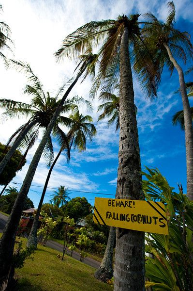 Hawaii     beware Falling Coconuts!     more problems with