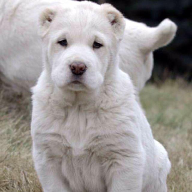 Central Asian Ovcharka Puppy So Beautiful Centralasianovcharka
