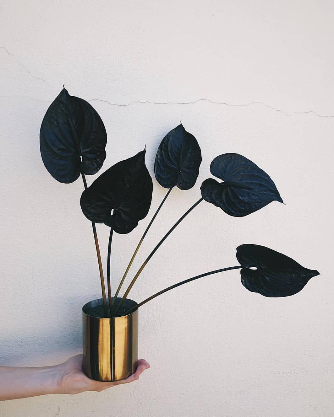 Featured Plant Anthurium Via Sir Botanical Darkplantmatter Gothplants Blackplants Anthurium Plants Pl Mit Bildern Pflanzen Zimmerpflanzen Pflanzen Dekor