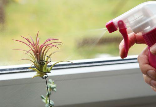 Luftpflanzen: Pflege- und Deko-Tipps für Tillandsien