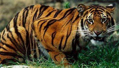 #tigermedicine