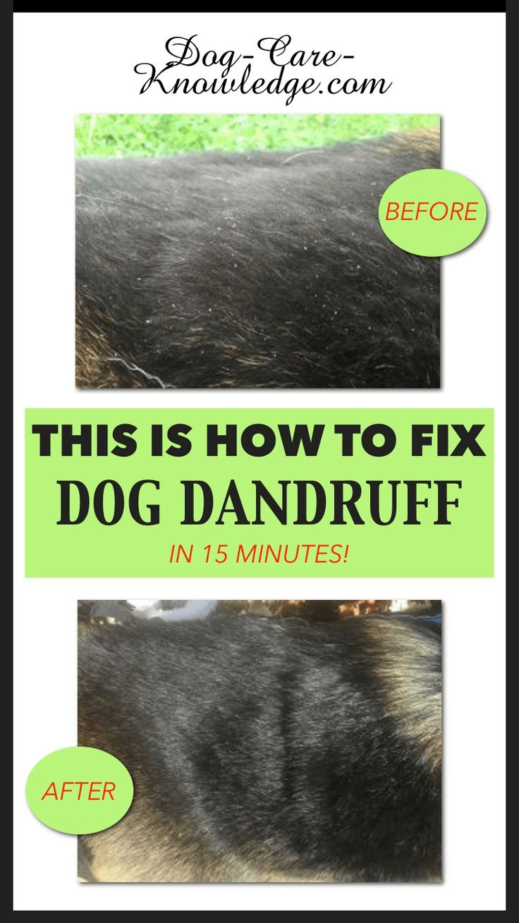 Dog Dandruff This is How To Fix it in 15 minutes Dog