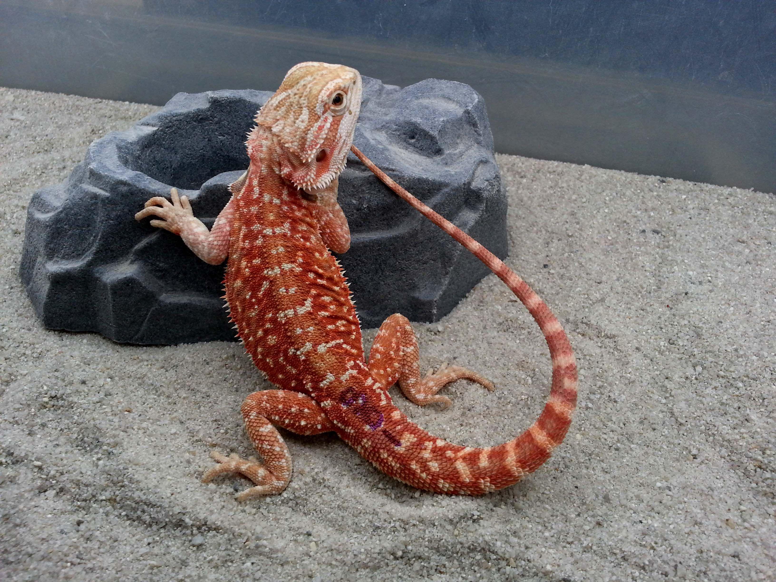 Dragons den herp new spotted dunner morph beardie