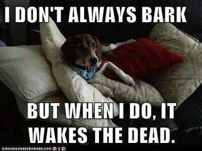 A Beagle Bark To Wake The Dead Funny Animal Memes Beagle