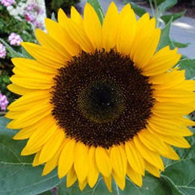 Sunflower In Real Life Google Search In 2020 Flower Seeds Sunflower Photography Easy To Grow Bulbs
