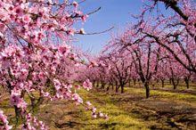 Harvester Peach Tree Peach Trees Dwarf Peach Tree Fast Growing Trees
