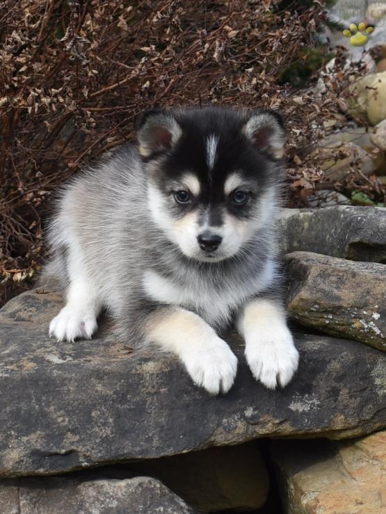 Togo Pomsky Puppy For Sale In Adolphus Ky Pomsky