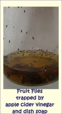 How to Get Rid of Fruit Flies? #howtodisguiseyourself