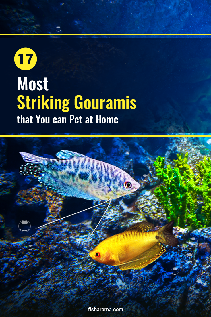 Extensive Care Guide For The Stunning Gourami Fish Breeds In 2020 With Images Fish Breeding Betta Aquarium Kissing Gourami