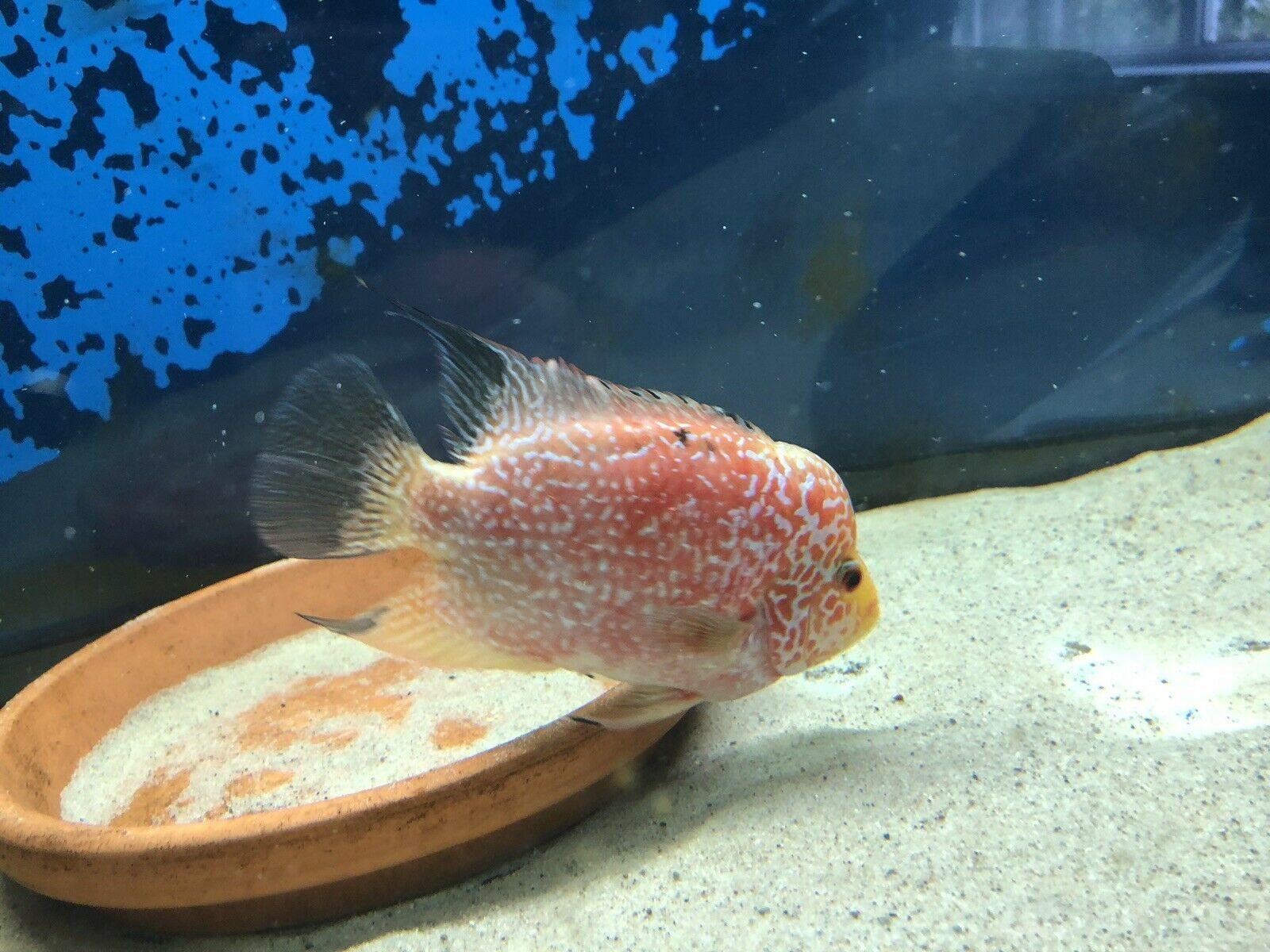 Female Gb Flowerhorn Cichlid Approx 6 Inch Very Nice Fish Luxury Pet Parrot Fish Fish Pet
