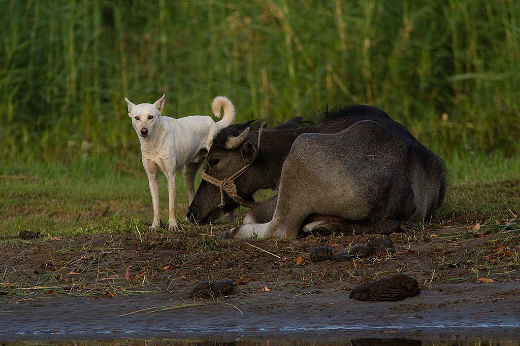 Vesipuhveli (ja koirakaveri)