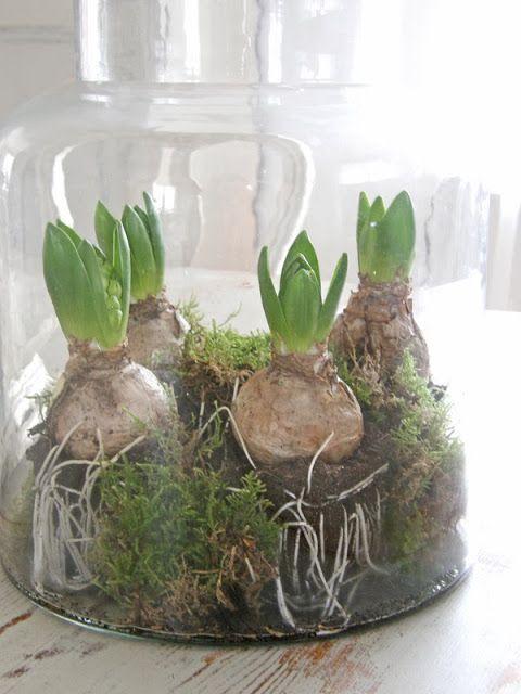 37 hyacinths d cor ideas to breathe spring in digsdigs spring pinterest oignon en fleur. Black Bedroom Furniture Sets. Home Design Ideas