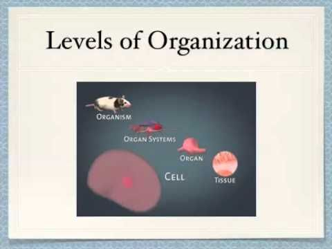 Levels Of Organization Cells Tissues Organs Organ Systems And