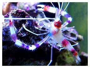 These Guys Are Meanies Coral Banded Shrimp Mine Is Nicknamed The Bandit Reef Aquarium Saltwater Aquarium Reef Tank